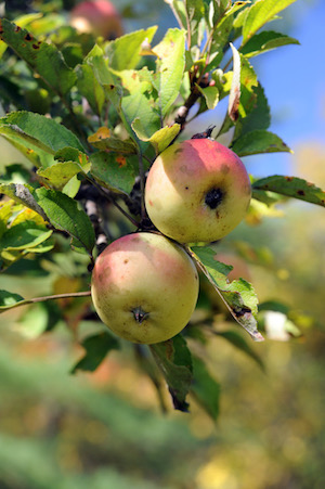 Feral apples on the branch