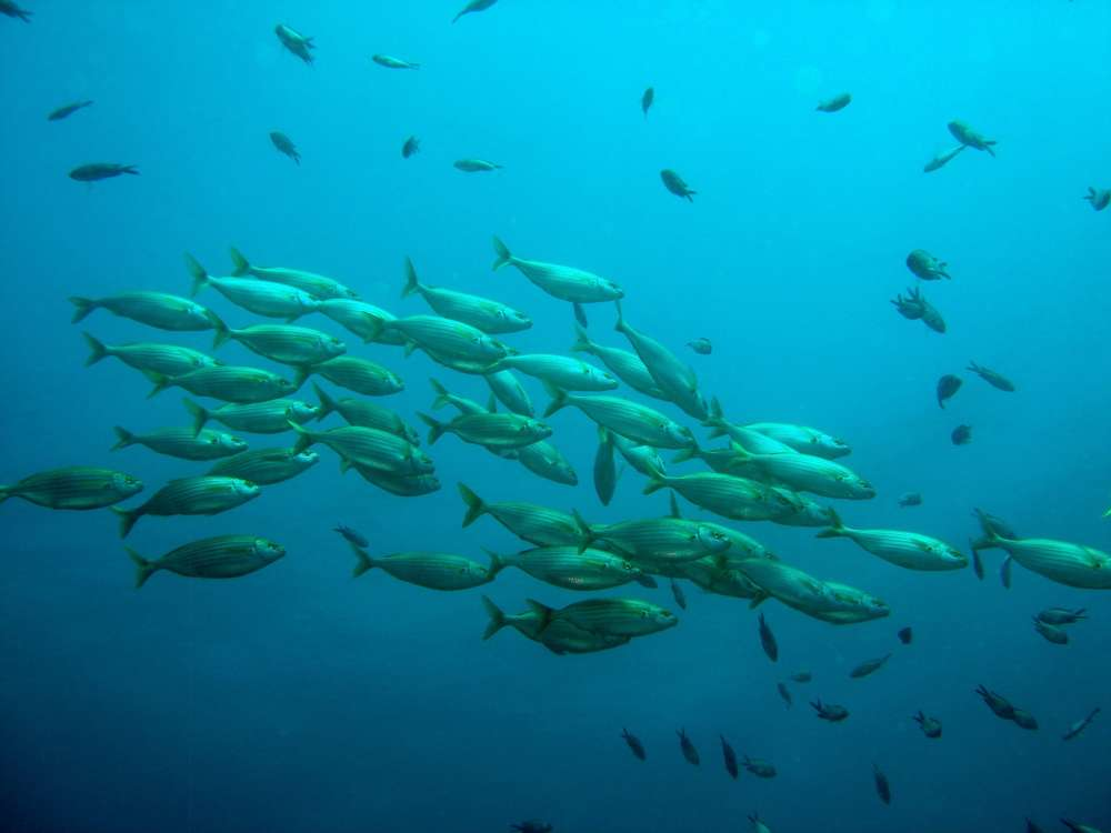 A school of fish in the ocean is shown