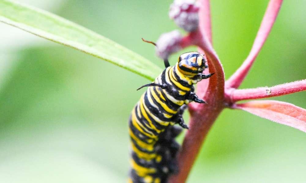 A closeup of a monarch caterpillar on a milkweed stem