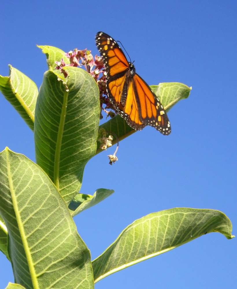 A monarch sits at the top of a common milkweed plant